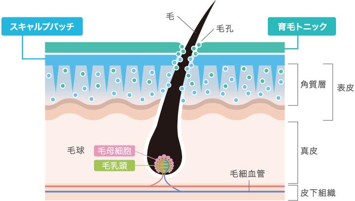 スキャルプパッチで育毛成分を角質層まで届けます