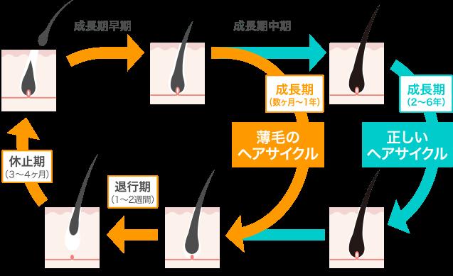 正しいヘアサイクルと薄毛のヘアサイクルの違い